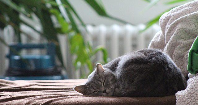Les huiles essentielles anti-allergies aux chats